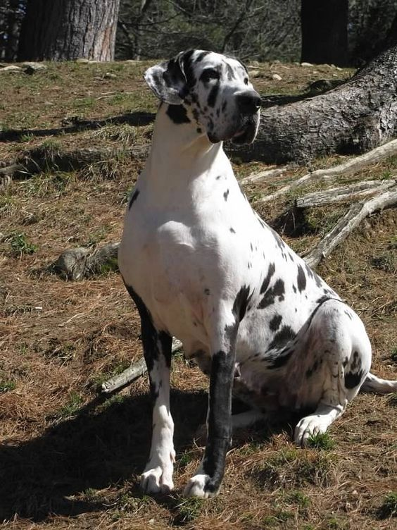 The SDP Great Danes EXPLORE.ORG