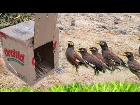 Piege A Oiseaux Rapide Genial En Utilisant Le Papier De Boite Font Par Le Travail De Fille Intellig Youtube Bird Trap Easy Bird Animal Traps