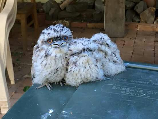 Lost Owl Family on a bin ...AUZ
