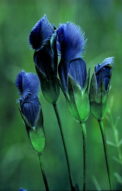 Fringed gentian, so pretty.  Never heard of or seen, before!: