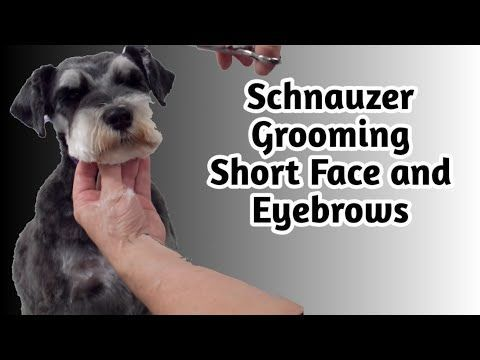 How To Clip A Pet Schnauzers Face And Eyebrows Short Pet Schnauzer Grooming In 2020 Schnauzer Grooming Puppy Grooming Schnauzer