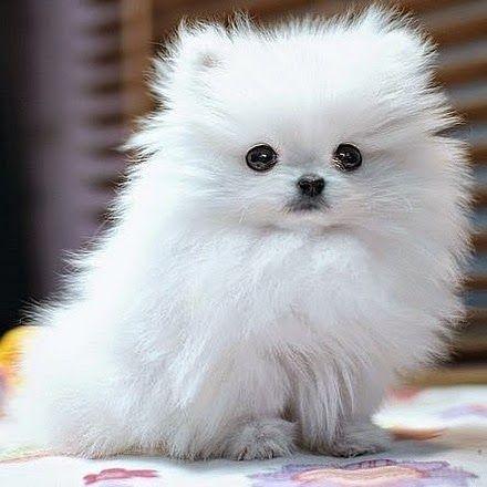 Raza Pomerania. Esta raza de perro es uno de los mejores para vivir en un piso, suelen ser muy pequeños, tienen mucha afectividad, además son muy juguetones.