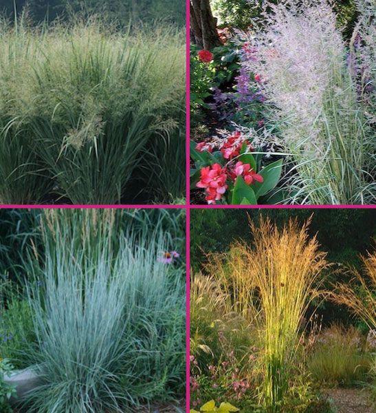 Zone 4 Hardy Grasses Bambooplants Ca Grass Ornamental Grasses Hardy Plants