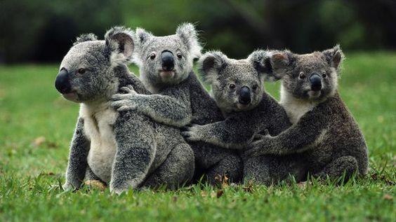 Koalas en equipo!!