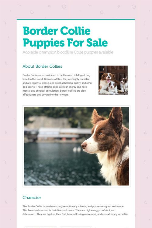 Border Collie Puppies For Sale Collie Puppies Border Collie Puppies Collie Puppies For Sale