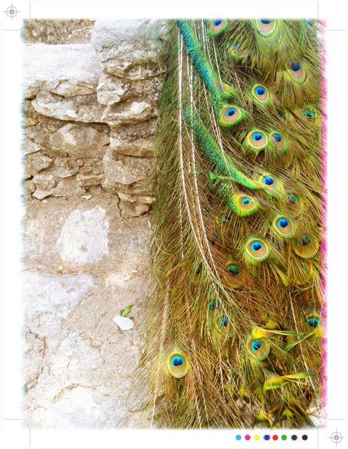 peacock. fave bird.