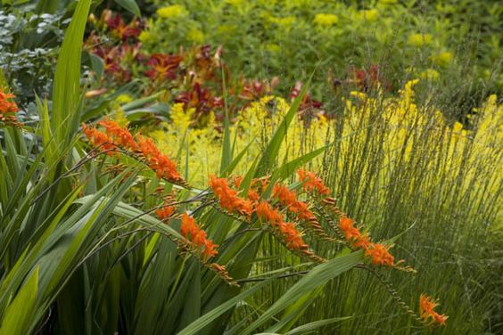 Crocosmia masoniorum, Coppertips, Falling Stars, AGM crocosmia,  Giant Montbretia, Crocosmia Masonorum