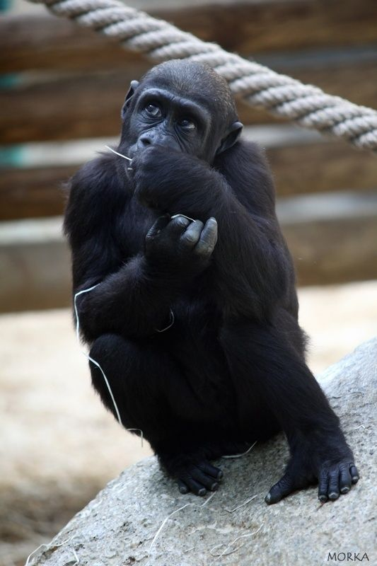 Gorilla, Beauvam zoo, France.  http://www.morka.fr