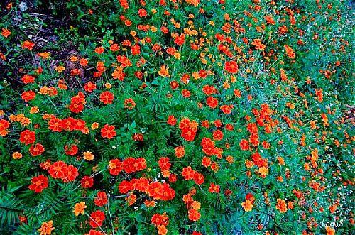 Tháng 10, những bông hoa cúc đá khoe sắc