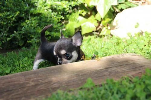 Waldorf Md Chihuahua Mix Meet Pico A Puppy For Adoption