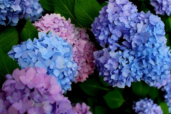hydrangea blossoms the two colors go well together art illusion l pinterest blossoms and. Black Bedroom Furniture Sets. Home Design Ideas