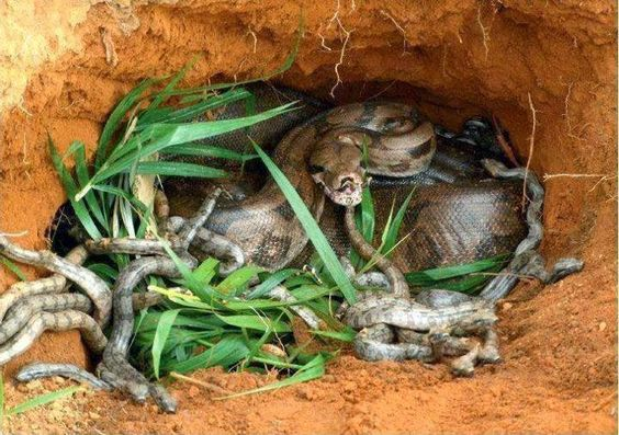 Blog do Luiz : Foto de uma cobra sucuri parindo mais de 100 cobri...