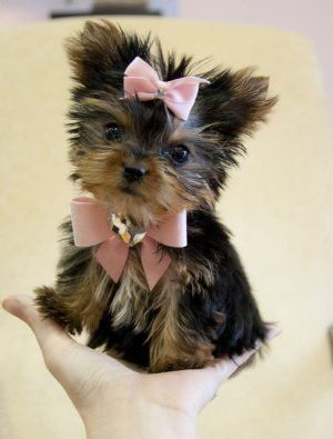 Teacup yorkie...  In her Valentine's heart and bows.
