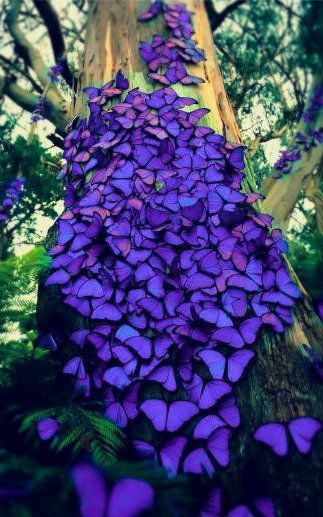 Woww so beautiful! Violet butterflies #amazing #nature #butterflies: