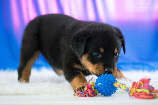 Rottweiler Puppy For Sale In Kent Oh Adn 63277 On Puppyfinder