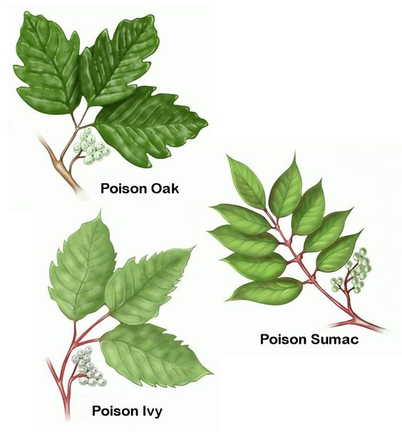 Untested: But will try ... Kill poison ivy in your yard by adding 3 pounds of salt to a gallon of soapy water, and spraying the mixture on the leaves and stems.
