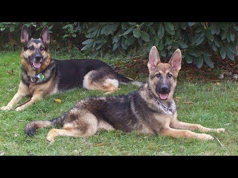 Choosing Between A Female Vs Male German Shepherd Youtube