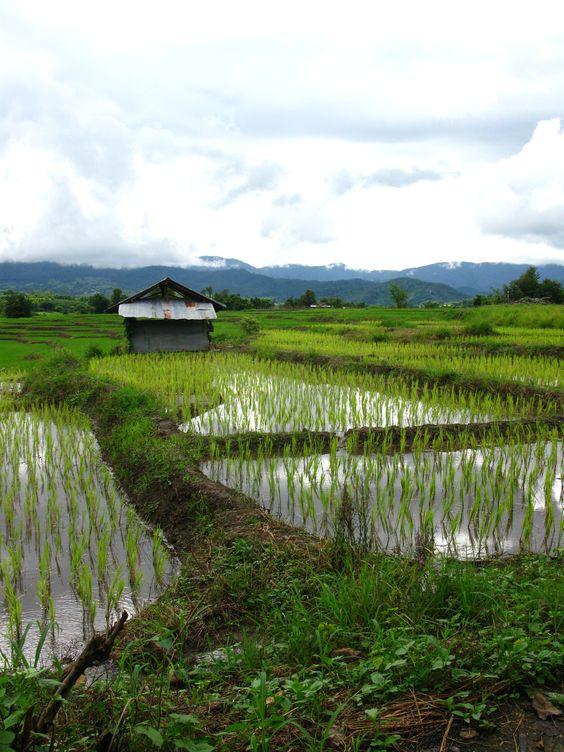 Thailand, Pai, rice fields: