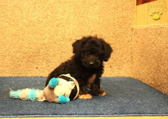 Sailor Schnoodle Puppy For Sale In Paradise Pa Lancaster Puppies Schnoodle Puppy Schnoodle Puppies For Sale Puppies For Sale