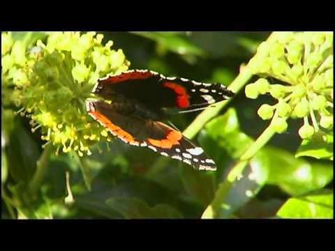 Fight of the year : Butterfly vs. Killer - Wasp ! Schmetterling vs. Killer-Wespe ! - YouTube