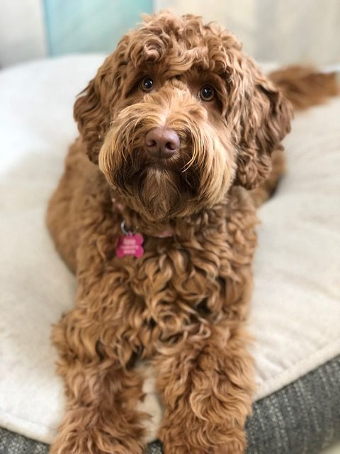 Red Australian Labradoodle From Rue And Slick Labradoodle