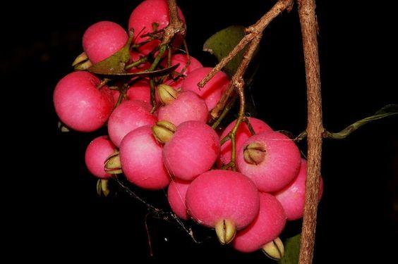 Syzygium fibrosum - Flickr - Photo Sharing!