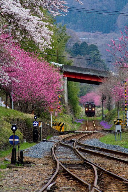 Sakura Railway, Japan. All i can say is wow. Look at the Cheery blossoms.