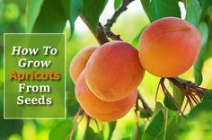 How To Grow Apricots From Seed - grow them indoors or outdoors in your garden... #gardening #homesteading
