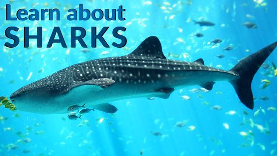 Learn about Sharks -Sharks- Sharks Facts - Lesson for Kids