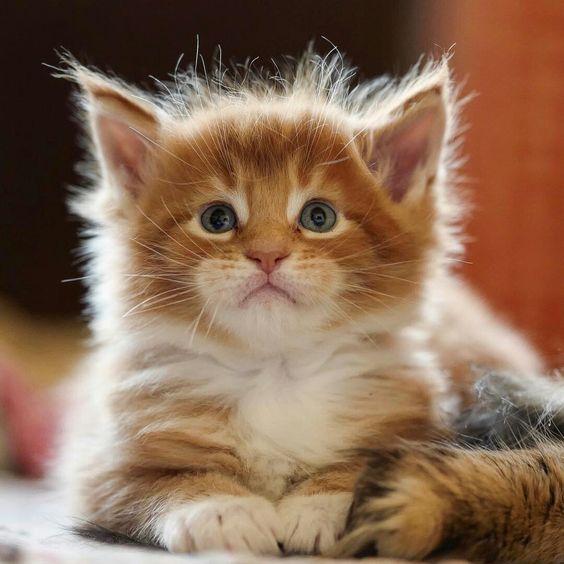 Healthy And Purebred Himalayan Cats Kittens For Sale In India Get Healthy And Purebred Himalayan Kitte Himalayan Cat Kitten Himalayan Kitten Kitten Adoption