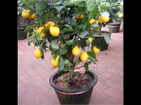 How To Graft Lemon Bonsai Tree Youtube Lemon Tree From Seed Tree Seeds Bonsai Seeds