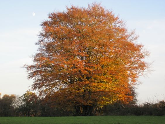 Beautiful beech tree in autumn colours, by CountryMove.co.uk