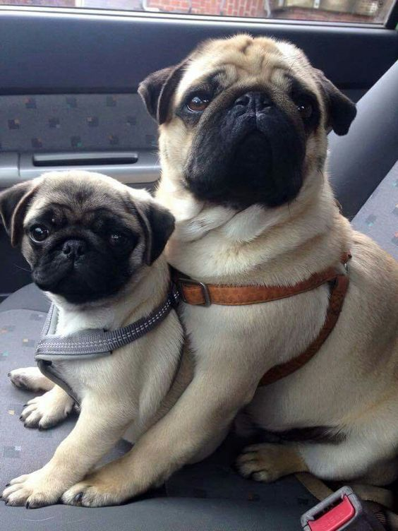 Pug Mom And Daughter Pug Puppies Puppies Baby Pugs