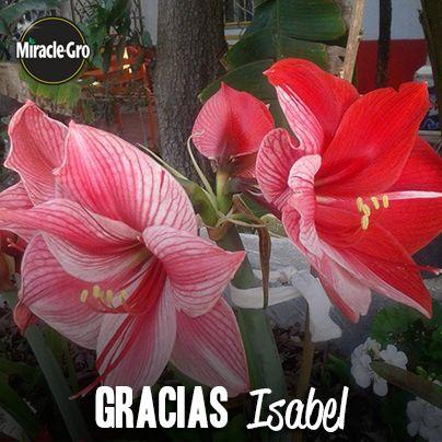 Muchas gracias a Isabel Ríos por compartirnos los hermosos lirios que cultivó con Miracle Gro.