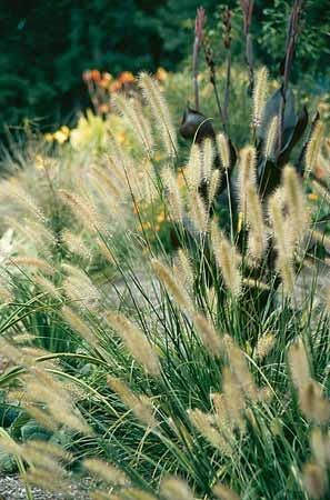 Foxtrot Fountain Grass for sale buy Pennisetum alopecuroides 'Foxtrot'