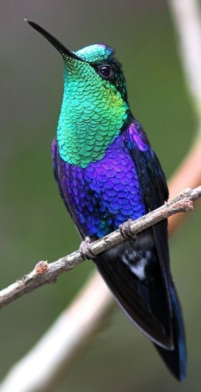 Green-crowned Woodnymph Hummingbird: