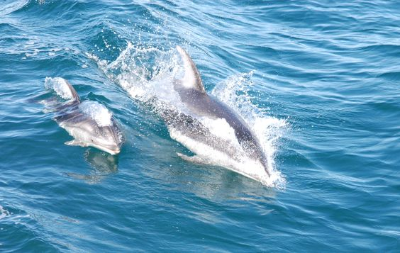 Momma and baby dolphin