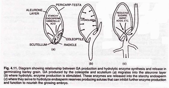 Diagram Showing Relationship Between Ga Production And Hydrolytic Enzyme Synthesis And Release In Germinating Barley Grain In 2020 Seed Germination Germination Seeds