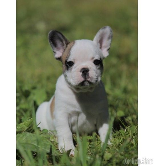 French Bulldog Price 1 600 French Bulldog Puppies Bulldog