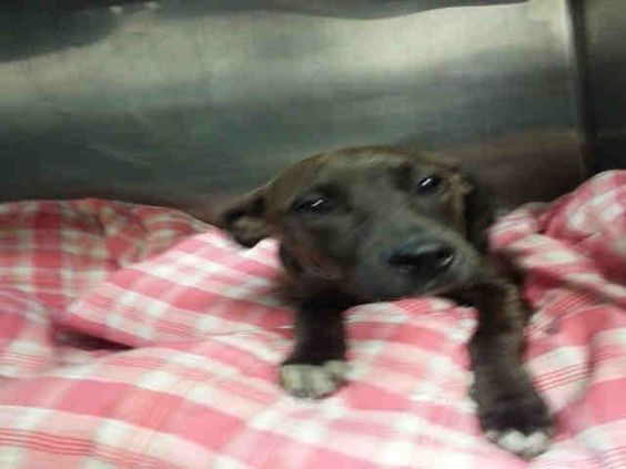 **PUPPY** - CHOCOLATE - #A1088857 - Urgent Manhattan - BROWN AM PIT BULL TER MIX, 6 Mos - STRAY - NO HOLD Reason STRAY - Intake 09/06/16 Due Out 09/09/16 - TOLERATES HANDLING - HIT BY CAR, PALE, TEMP 100.8 - NO OBVIOUS INJURIES OR INTERNAL BLEEDING SEEN