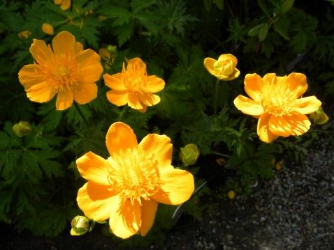 "Trollius x cultorum ""Pritchards' Giant"" (Globeflower)....large golden orange globe shaped flowers; up to 3 feet high; blooms late spring/early summer and again in late summer."