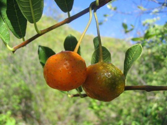 Mama Cadela. Frutas do Cerrado.: