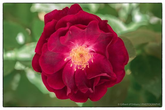 Flowers - Red rose