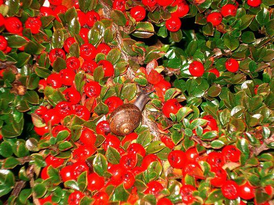 A snail among the berries...#dublin #ireland #autumn