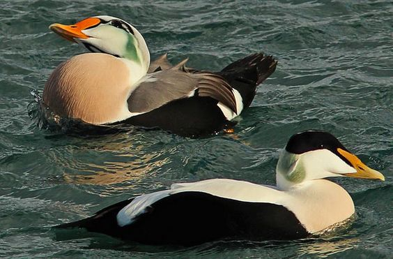 Blended Eider and King Eider above
