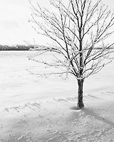After great storms comes great beauty.  Black and white photograph of an ice covered tree.  - Open Edition  - Location: Brampton, Ontario, Canada