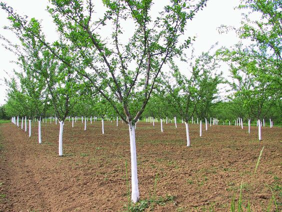 When a plum tree fails to bear fruit, it is a big disappointment. It is important to identify why your plum tree's not fruiting in order to prevent this from recurring again next season. Read here to learn more.