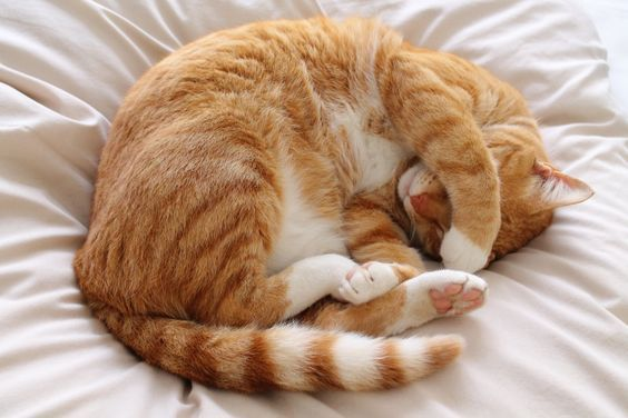 10 Best Cats And Kittens What Do Cat Sleeping Positions Behaviors And Patterns Mean While 16 Hours A Day S In 2020 Cat Sleeping Positions Cat Sleeping Ginger Cats