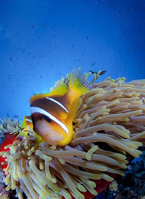 Red sea anemone fish - NOT nemo as everyone keeps calling them! But surprisingly viscous!