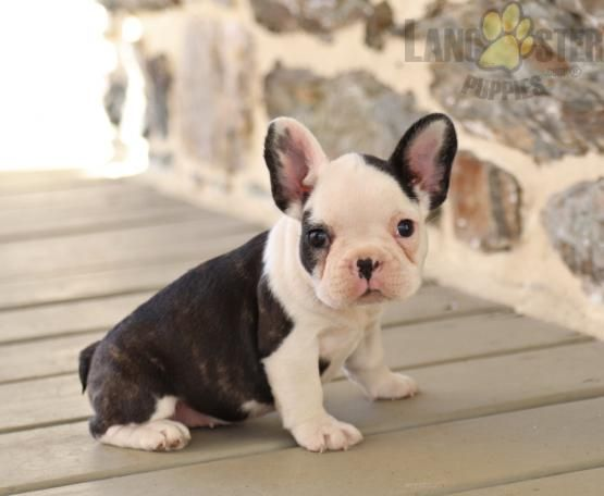 Georgia French Bulldog Puppy For Sale In Oxford Pa Lancaster